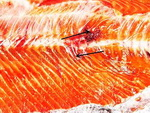vertebral-compression-fracture-in-coho-salmon-small