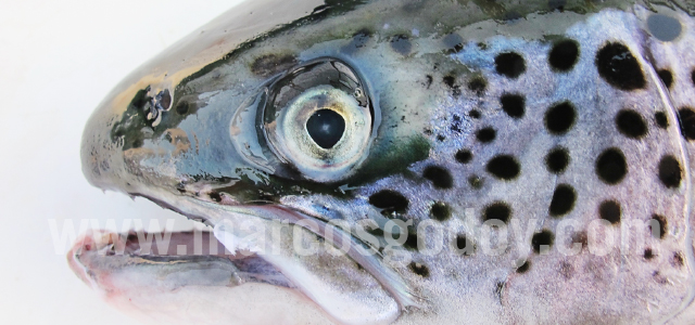 Atlantic salmon cataract I