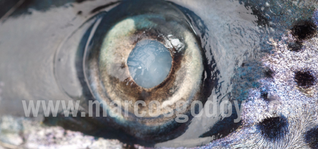 Atlantic salmon cataract X