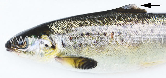 Fin root Atlantic salmon III