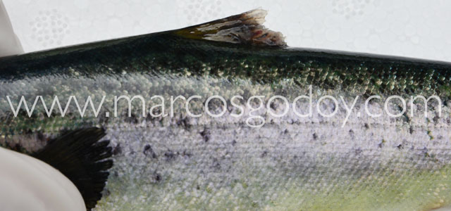 Fin root Atlantic salmon XX