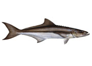 Cobia Pastereullosis small