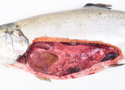 Peritonitis traumatica salmon coho small