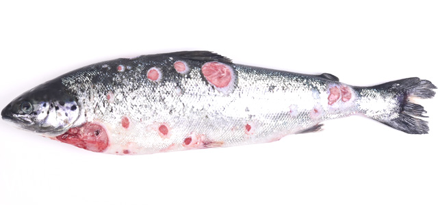 SRS Atlantic salmon Atlantic salmon I