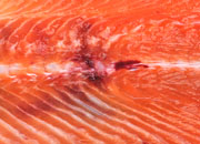 Fractura Salmon coho small